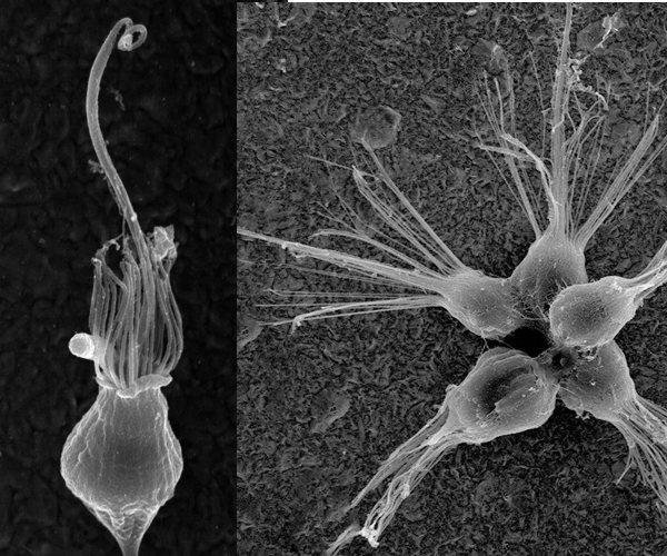 hoanoflagellaty